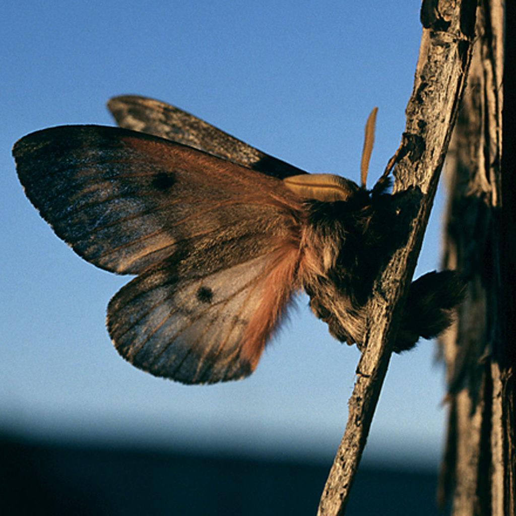 Pandora Moth